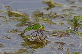 Emperor Anax female in a marsh in summer