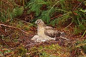 Northern Harrier female protecting its young