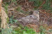 Northern harrier brooding female on nest