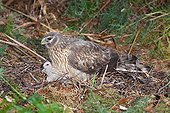 Northern harrier female with its young on nest