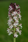 Burnt Orchid flowering at spring