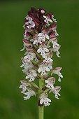 Orchis brûlé en fleur au printemps