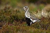 Eurasian Golden Plover in the peat moors