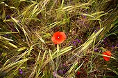 Poppies in bloom in a field of wheat Provence France
