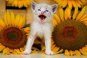 Kitten meowing in front of sunflower France