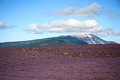 Lavender field in front of the Mont Ventoux Provence France