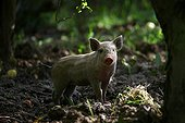 Young Pig standing in wood Provence France