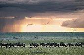 Miogration wildebeest at dusk Masai Mara Kenya