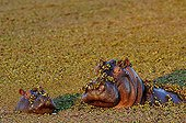 Hippo and young in aquatic vegetation Botswana