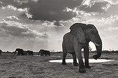 African Elephant at waterhole Savuti Botswana