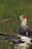 Secretarybird preening the feathers Masai Mara Kenya