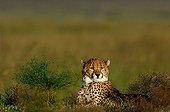 Young female Cheetah lying in grass Masai Mara Kenya