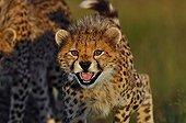 Portrait of a young female Cheetah Masai Mara Kenya