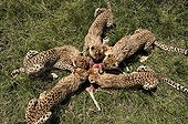 Young Cheetahs eating a Gazelle Masai Mara Kenya ; Age: 7 months