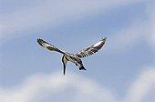 Pied Kingfisher hovering Masai Mara Kenya