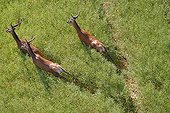 Red deer running in a field of rapeseed Picardy France
