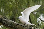 Common white Tern just landing on a branch Hawaii