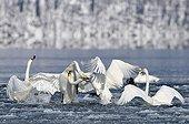Fight between Whooper Swans on Lake Kussharo Hokkaido Japan