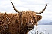 Highland cow on the coast Scotland UK