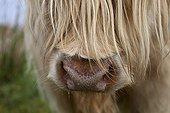 Scottish Highland Cow muzzle UK