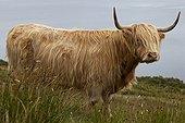 Highland cow on the moor Scotland UK