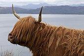 Portrait of Highland cow Scotland UK