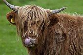 Portrait of Highland cow licking nose Scotland UK