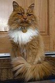 Chat roux et blanc à poil long devant une porte Ecosse RU