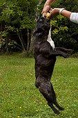 Bulldog playing his ball hanging France
