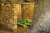 Endives in a cellar