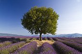 Maple and Lavender fields Plateau of Puimichel France