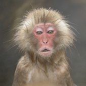 Portrait of a Japanese Macaque in hot water bath Japan