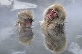 Japanese Macaques nap in hot water bath Japan