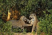 Jaguars males playing Pantanal Brazil