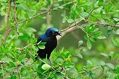 Blue-eared Glossy Starling on branch Nakuru Kenya