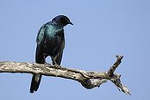 Greater Blue eared Glosser Straling on a branch in Africa
