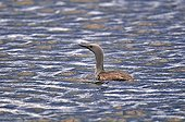 Red-throated Loon on water Iceland ;