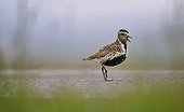 Eurasian Golden Plover shouting Iceland ;