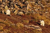 Arctic Hares doing their toilet in Greenland