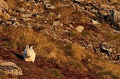 Arctic Hare doing their toilet in Greenland