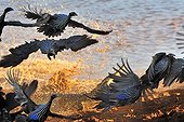 Flight of guinea fowl Vulturine attacked by a Crocodile