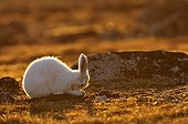 Arctic hare Cape Hoegh in Greenland ; It scratches its nose with its paws