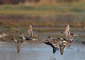 Flight of Pintails in winter France
