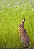 European hare careful to the edge of a field of Lin France
