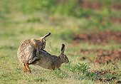 Matins of european hares to the edge of a field France