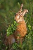 European hare eating a leaf of dandelion France