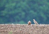Stone curlew in a field in the rain France