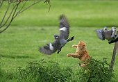 Cat hunting a Wood Pigeon France