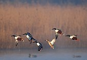 Flight of Northern Shovelers in a marsh France