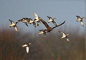 Raptor hunting in a flight of Sarcelles France